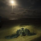 Leatherback turtle laying her eggs.