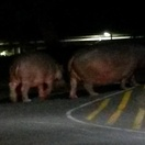 Hippo walking down the tarred road of St Lucia around 21h00.