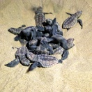 Loggerhead turtle hatchlings