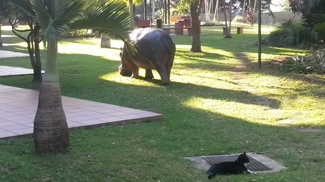 Hippo in town in broad daylight.  Look out for the cat.