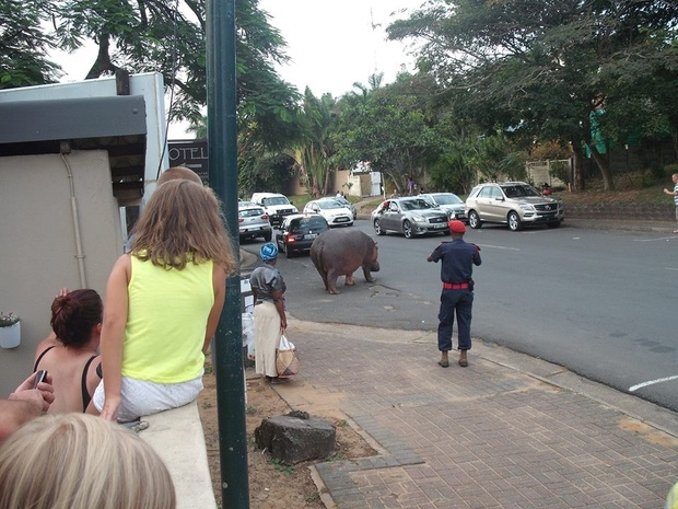 Hippo causing quite a traffic jam in St Lucia.