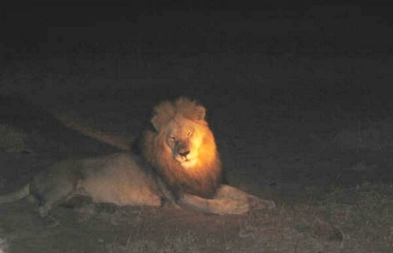 Lion at Hluhluwe Imfolozi